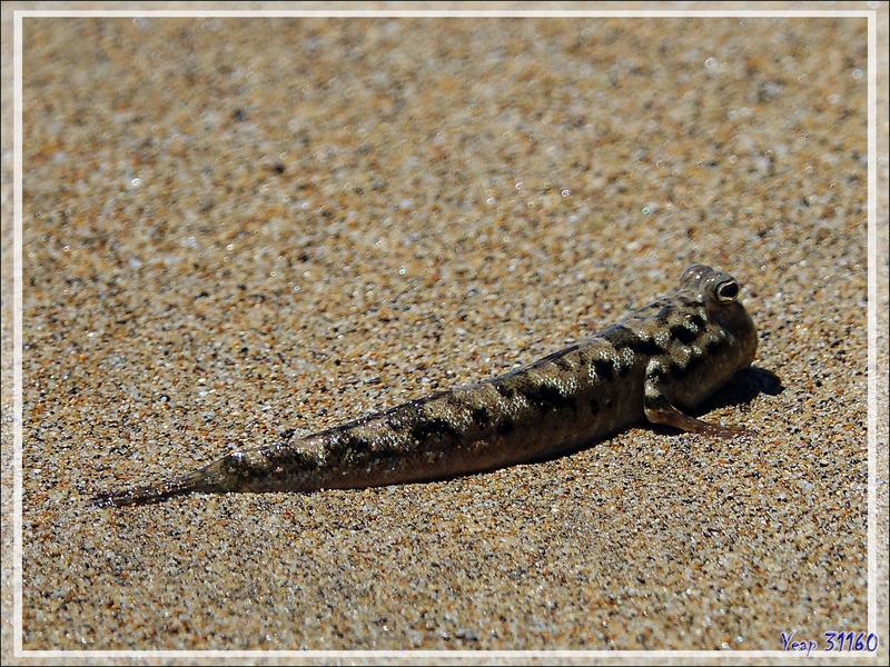 Un étrange poisson sauteur et amphibie, le Poisson-grenouille - Périophthalme rayé d'argent, Silverlined mudskipper (Periophthalmus argentilineatus) - Nosy Be - Madagascar