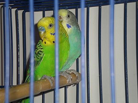 Couple de perruches