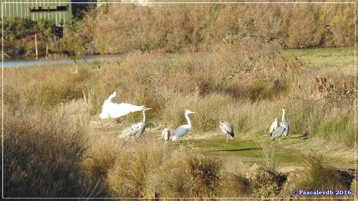 Réserve ornitho du Teich - Décembre 2016 - 8/13