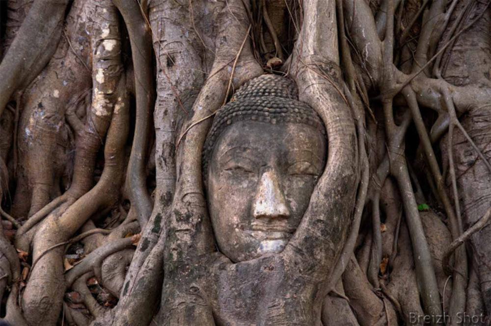 tête de bouddha,racine, Ayutthaya