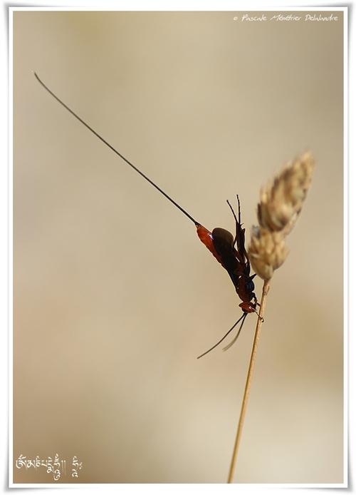 Ichneumonidae ♀ (Ichneumon)