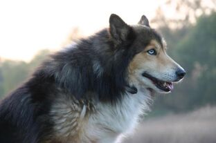 Hollie (pronounced Holly) The Husky-Collie Mix by ...
