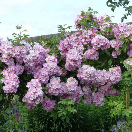 Rosier liane Blush Rambler - Rose ancienne