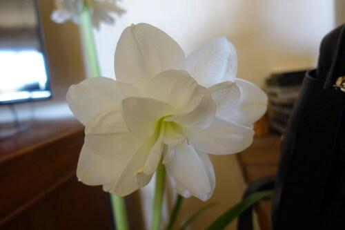 Les amaryllis, 2
