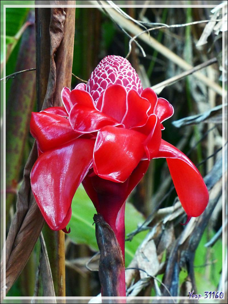 Rose de porcelaine, Ginger torch (Etlingera elatior) - Raiatea - Polynésie française
