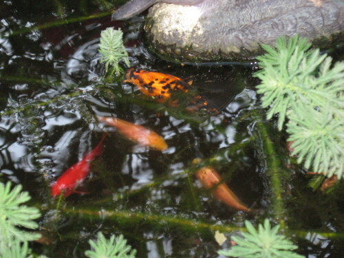 Le-bassin-aux-poissons-rouges-2450.JPG