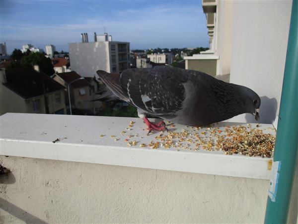 Nouvelle du pigeon à Maman