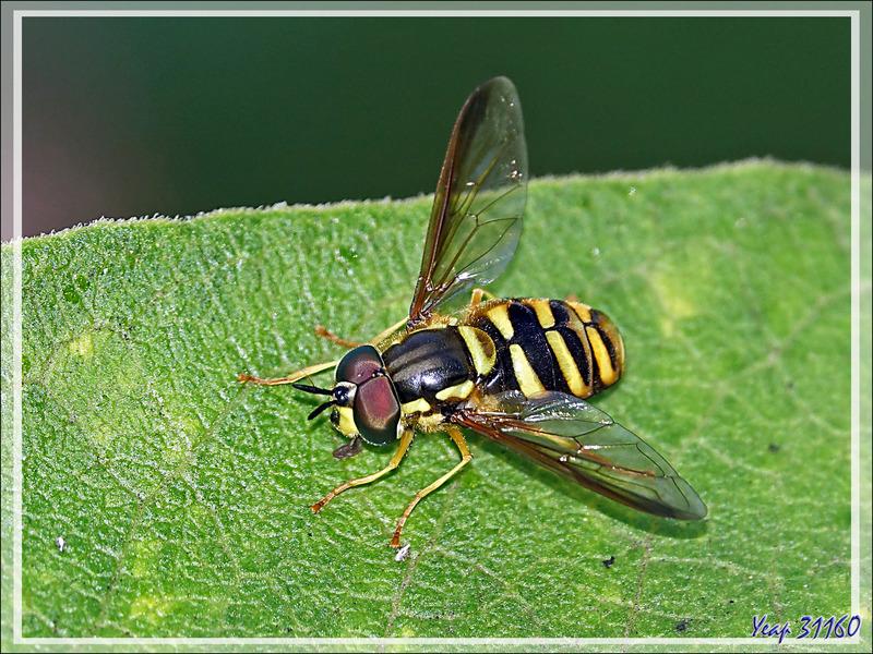 "Mouche syrphe ""Chrysotoxe prudent"" mâle, Giant prong-horn hoverfly (Chrysotoxum cautum) - Lartigau - Milhas - 31"