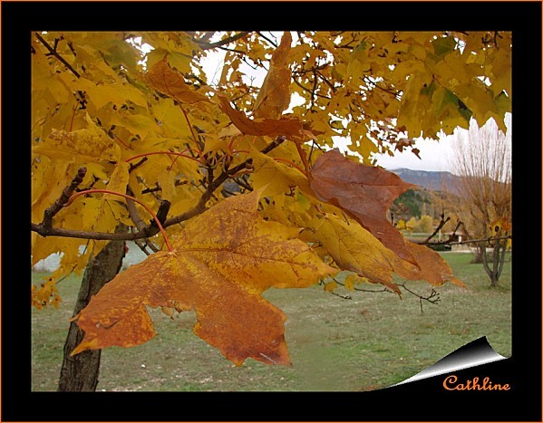 feuilles--erable-platanoide.jpg