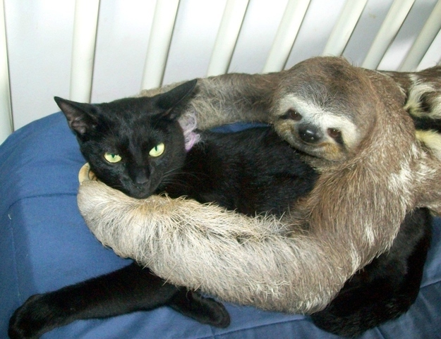 mixed species, cat and sloth