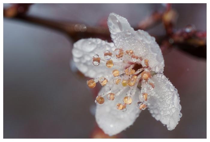 rose sur fleur de prunus blancs