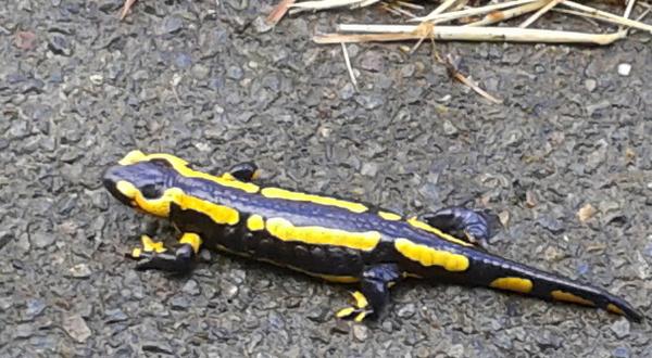 Salamandre tachetée -  Salamandra salamandra