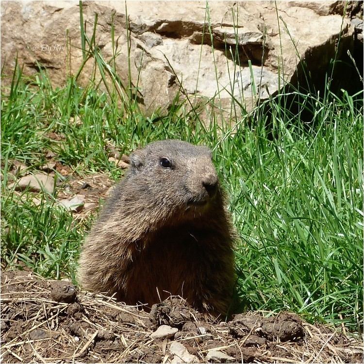 La Marmotte des Alpes ( Marmota marmota ) ...