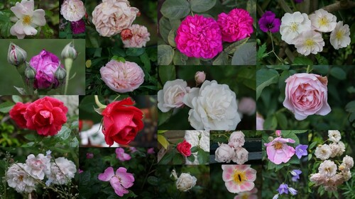 12 mois, 12 roses ou presque