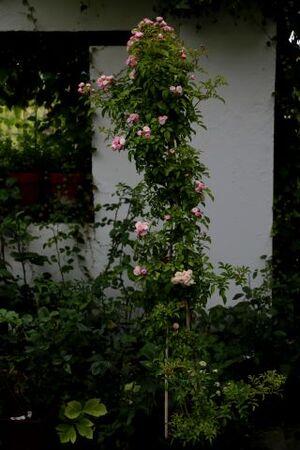 La Belgique, pays de la Rose