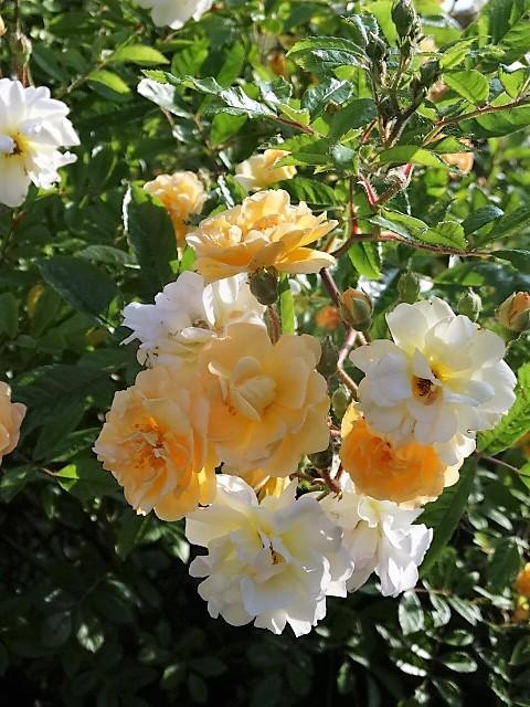Un rosier coup de coeur: Ghislaine de Feligonde