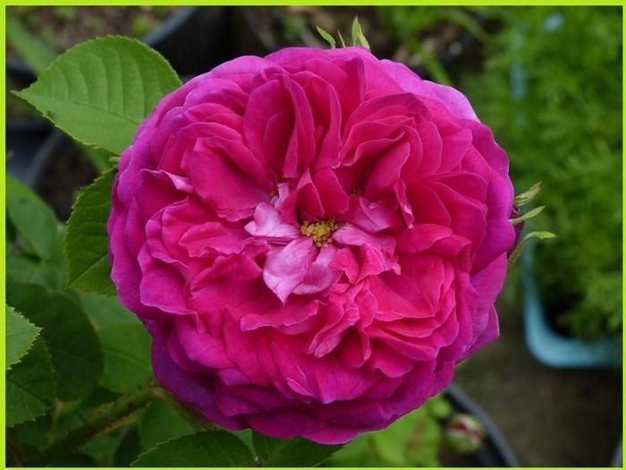 """"""" Rose de Maussane-les-Alpilles"""""""