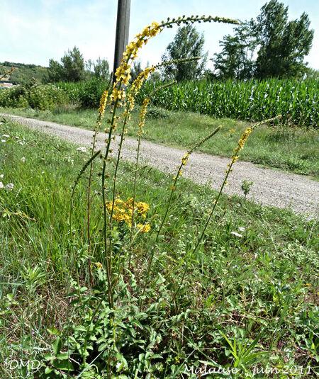 Agrimonia eupatoria - aigremoine