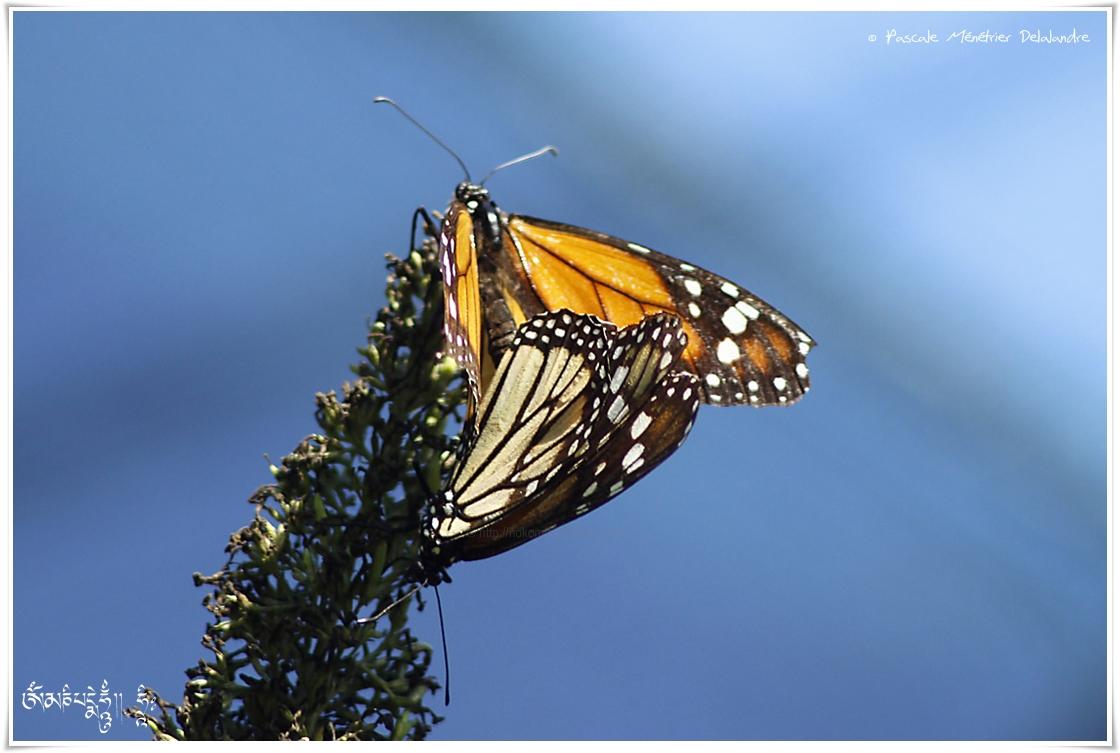 Monarque (Danaus plexippus) - Nymphalidae