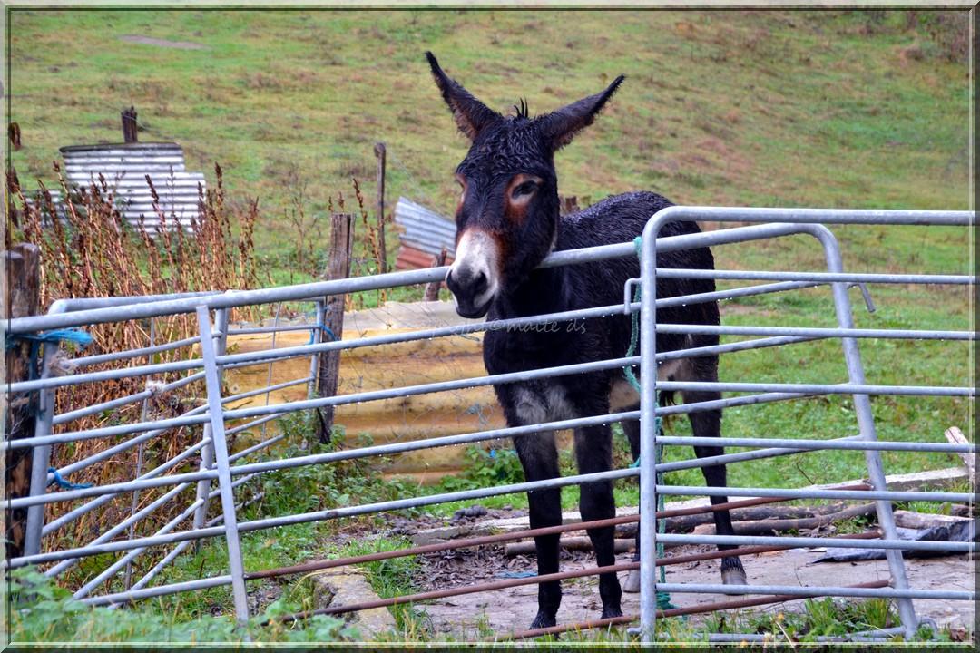 Âne mon ami ! Htes-Pyrénées 13-11-2013