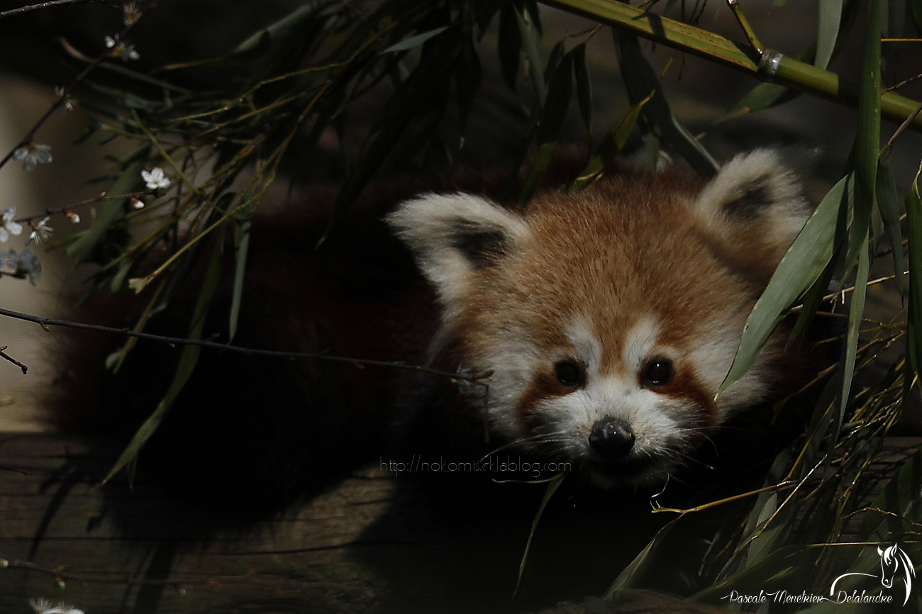 Panda roux (Ailurus fulgens)