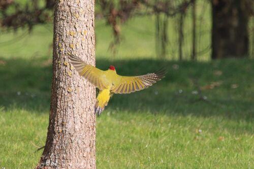 Pic Vert (European Green Woodpecker)