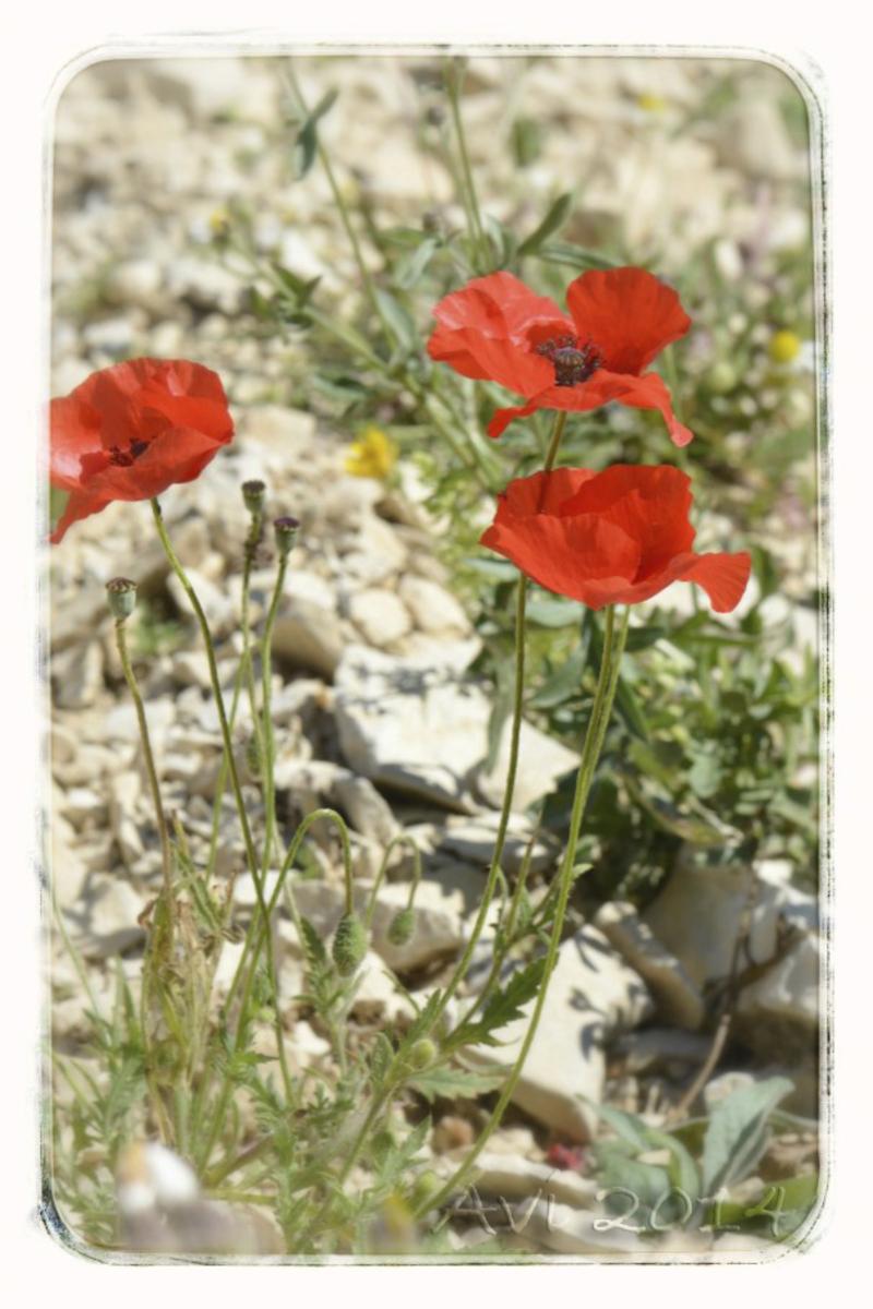 Fleurs d'été : Coquelicots