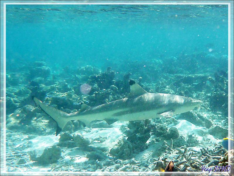 Requin pointes noires, blacktip reef shark (Carcharhinus melanopterus) - Moofushi - Atoll d'Ari - Maldives