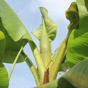 Le bourgeon du Bananier va bientôt se développer - 20 Juillet 2014