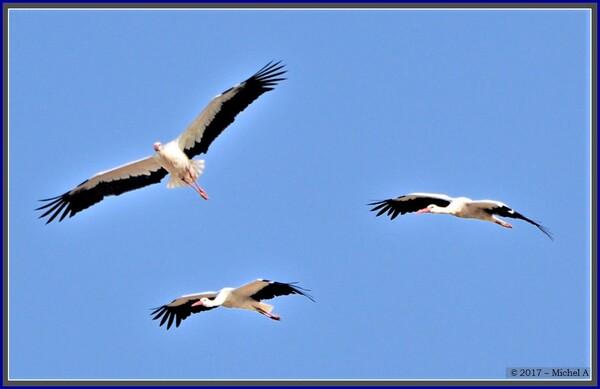 Passage des cigognes à Loches