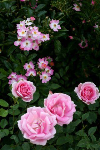 Les Roses de Warren : Arcadia