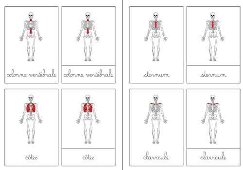 Nomenclatures du squelette, simples et plus complexes (face, dos, profil)