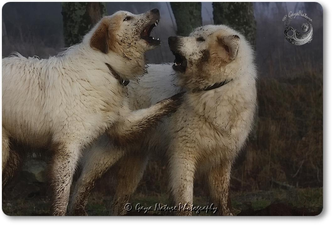 Kinouk, chien modérateur