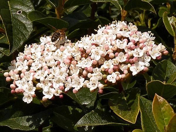Laurier-Tin-fleurs et abeille