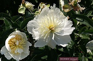 pivoine honey gold
