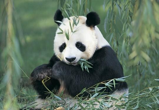 un panda je ladore