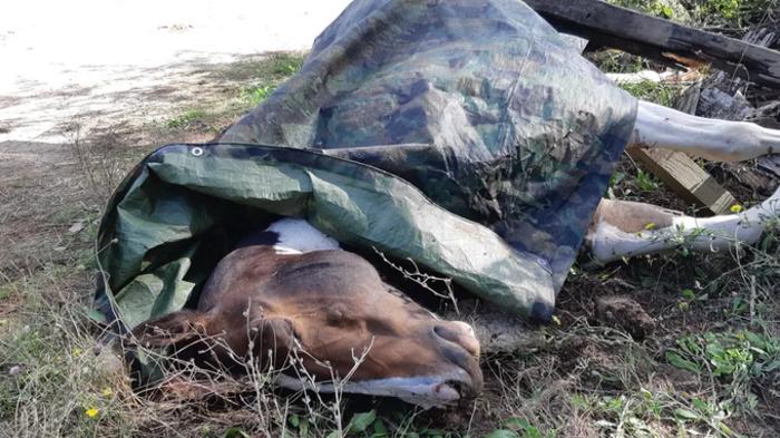 Un cheval tué lors d'une battue de chasse