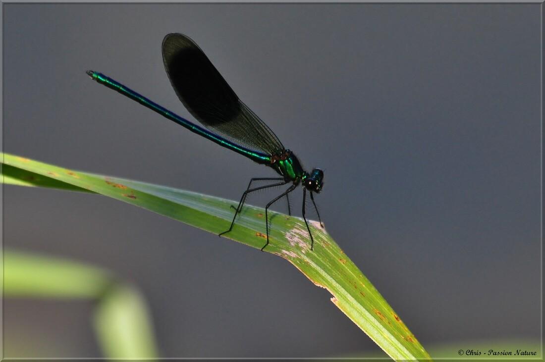 Caloptéryx vierge mâle et femelle