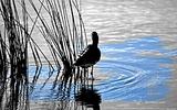 Barge à queue noire - p159