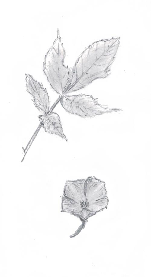 Quelques croquis de plantes