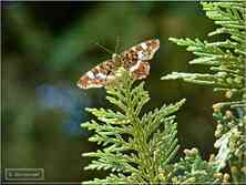 Papillons de jour La Carte Géographique Araschnia levana