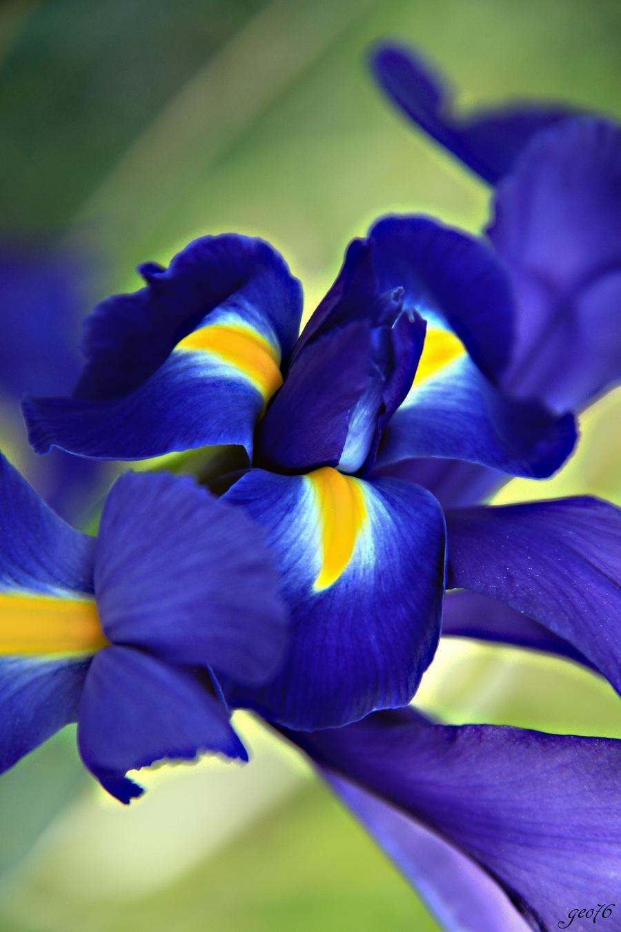 Un iris un jour...!