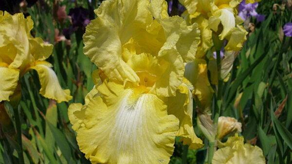 Iris-de-mai-050.JPG
