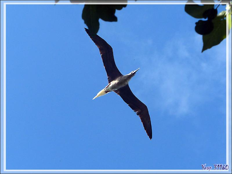 Fou à pieds rouges, Red-footed Booby (Sula sula) - Ile aux oiseaux - Vers la passe sud Tumakohua (Tetamanu) - Atoll de Fakarava - Tuamotu - Polynésie française