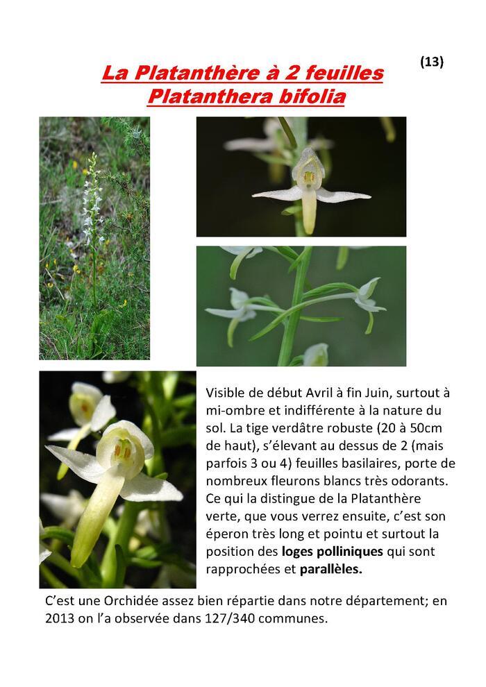 Fichier 13 : la Platanthère à 2 feuilles
