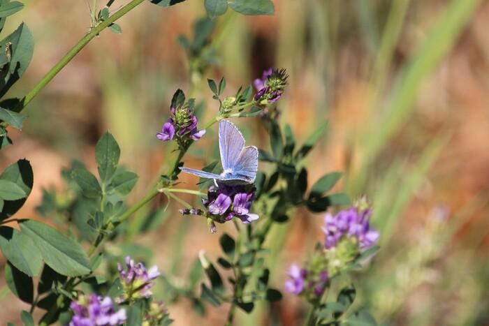 L'Argus bleu, l'Azuré de la Bugrane, L'Azuré commun