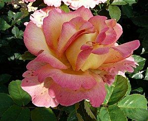 Rose-Jean-Piat--18-6-10-P906.JPG