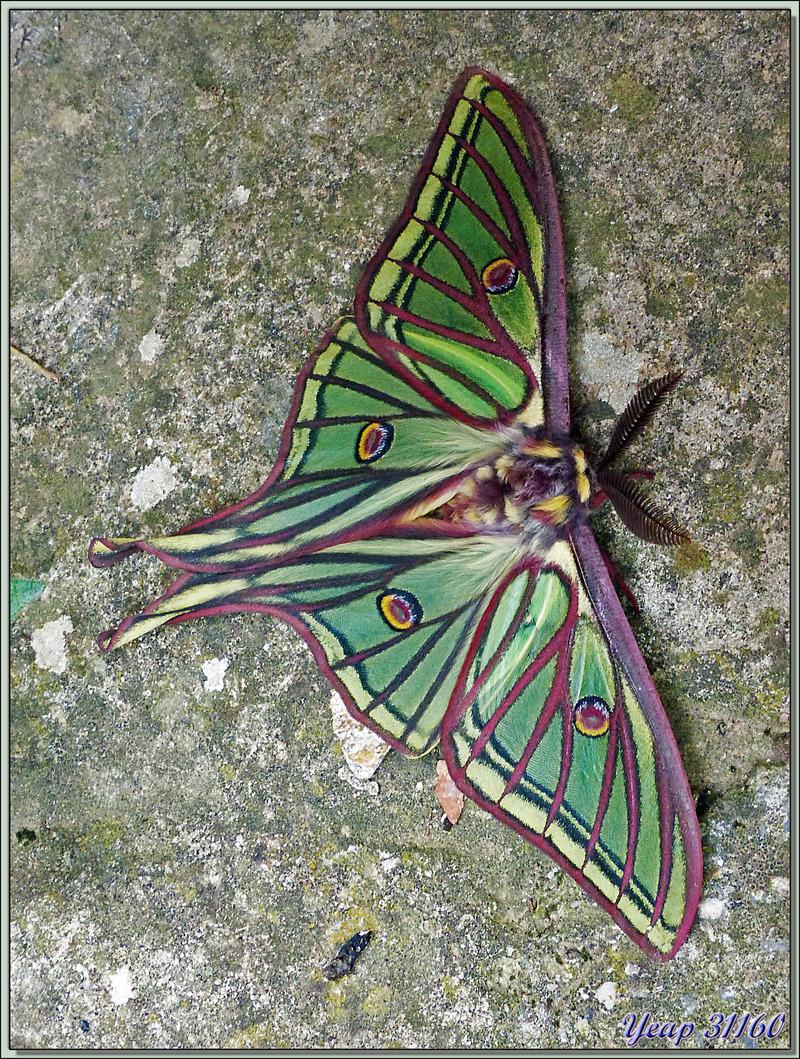 Randonnée au Congost de Mont-Rebei : Papillon Isabelle mâle (Graellsia isabellae paradisea) - Alsamora - Catalogne - Espagne
