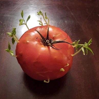 Diaboliques tomates ...