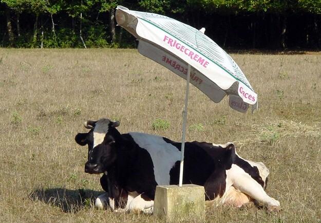 Vache A L'Ombre